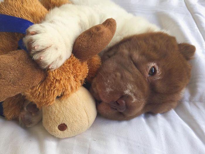 Бо Медвежья Шерсть - самый необычный песик в мире