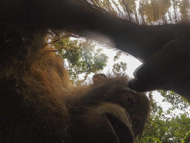 Орангутанг украл камеру у туриста и сделал множество селфи!