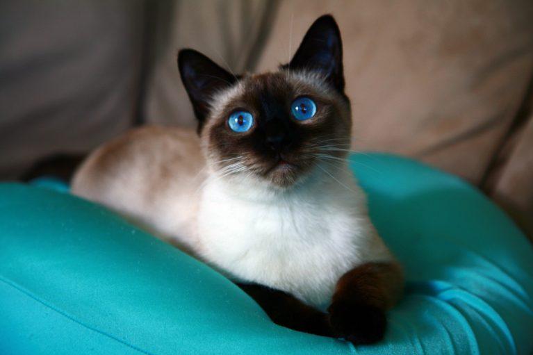 сиамская кошка правила содержания