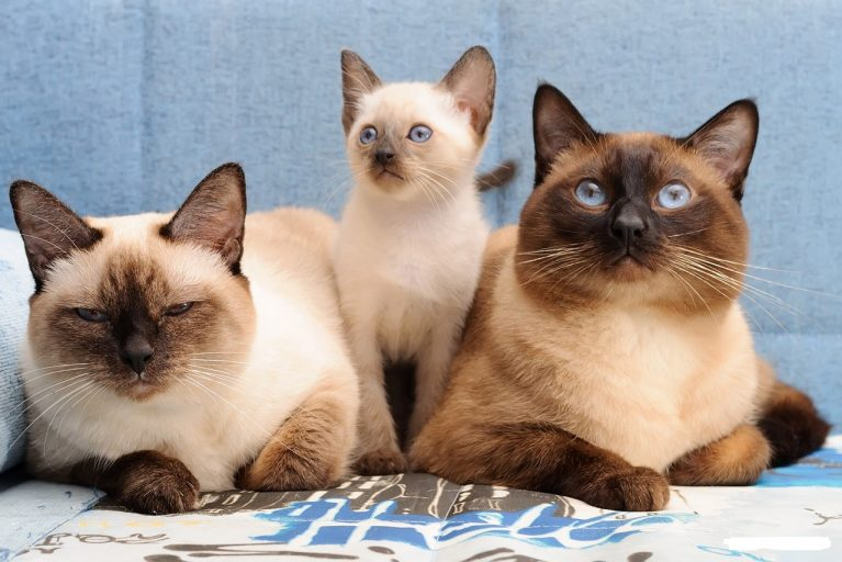 семейство тайских кошек
